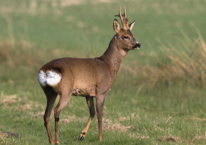 Hunting Roe Deer in Hungary