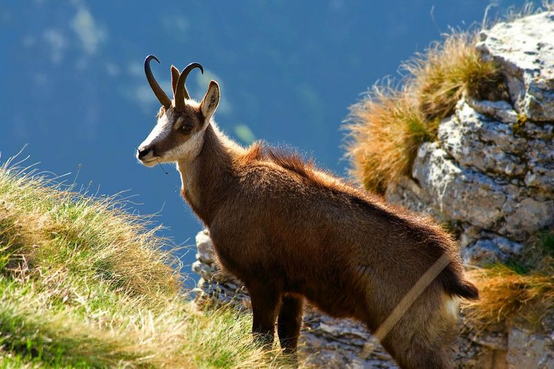 Hunting Chamois in Carpathians