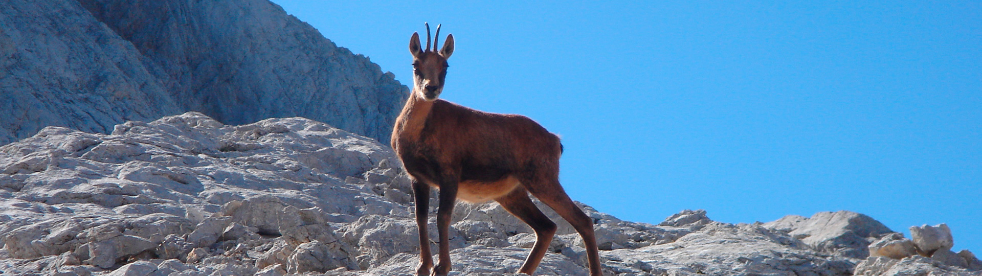 Hunting Cantabrian Chamois in Spain