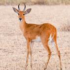 Reedbuck comun