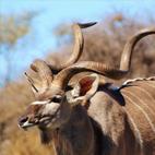 Kudú del cabo