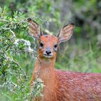 Grysbuck Cape