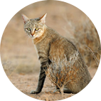 Gato africano