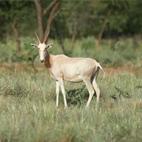 Blesbuck blanco