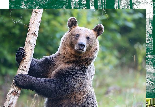cazar-oso-pardo-Rumania