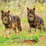 rececho de lobo, cazar un lobo, cazar lobo España