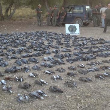 Tiradas de paloma torcaz y tórtola en Albacete