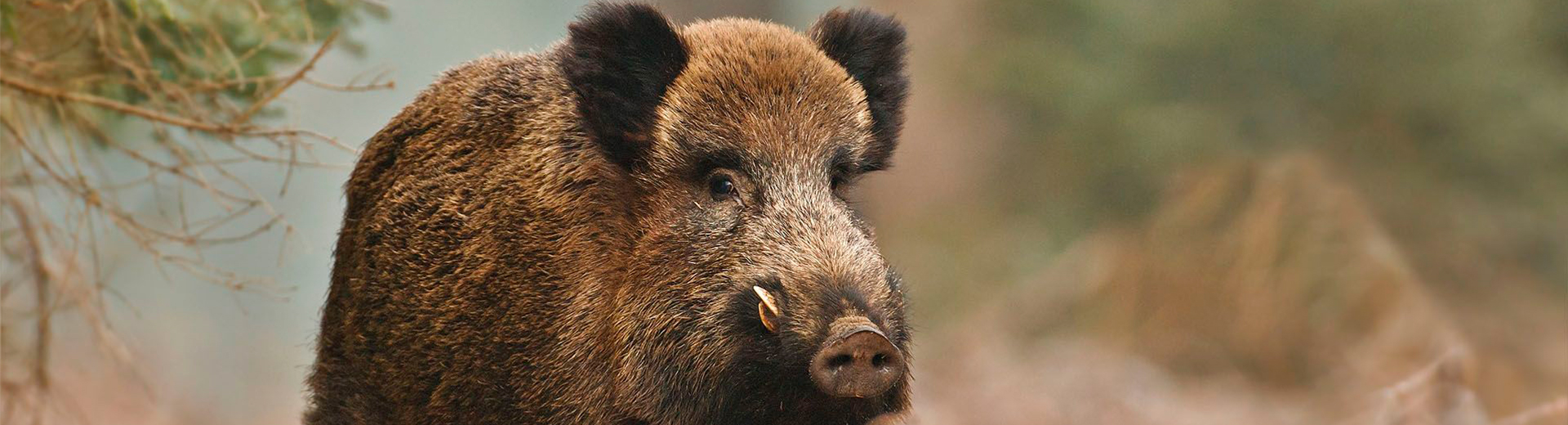 HUNTING WILD BOAR IN SPAIN.