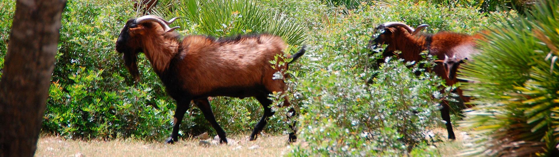 hunting balearean goat in mallorca | JJ Gómez Caza