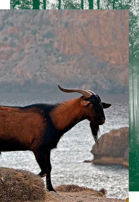Balearische Ziege auf Mallorca jagen