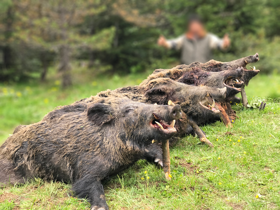 Cazar grandes jabalíes en Turquía a rececho,recechar  jabalies en Turquia, cazar jabalies rececho Turquia