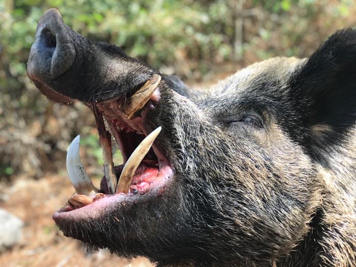 Batidas de grandes jabalíes en Turquía, cazar jabalies Turquia batidas, batidas jabalies Centroeuropa