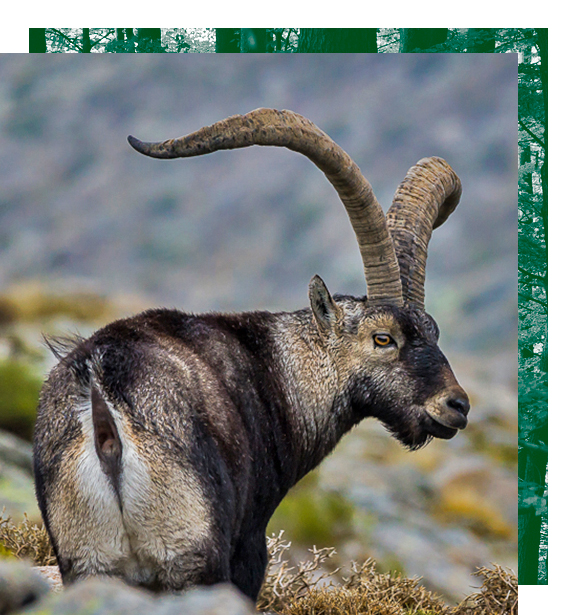 hunting offers in Spain, offers hunt Spain, ibex offers Spain, Spanish ibex offers