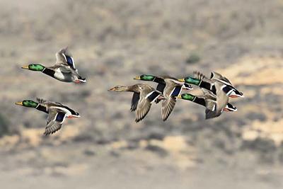Duck shooting in Spain, hunting ducks Spain, shooting ducks Spain