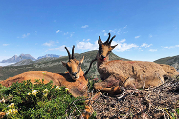 Cantabrian Chamois Hunting in Spain