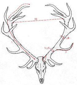 Homologacion de trofeos de ciervo o venado, medicion venados España, homologacion CIC ciervo venado, homologar trofeo de venado ciervo, medicion ciervo venado cuernas