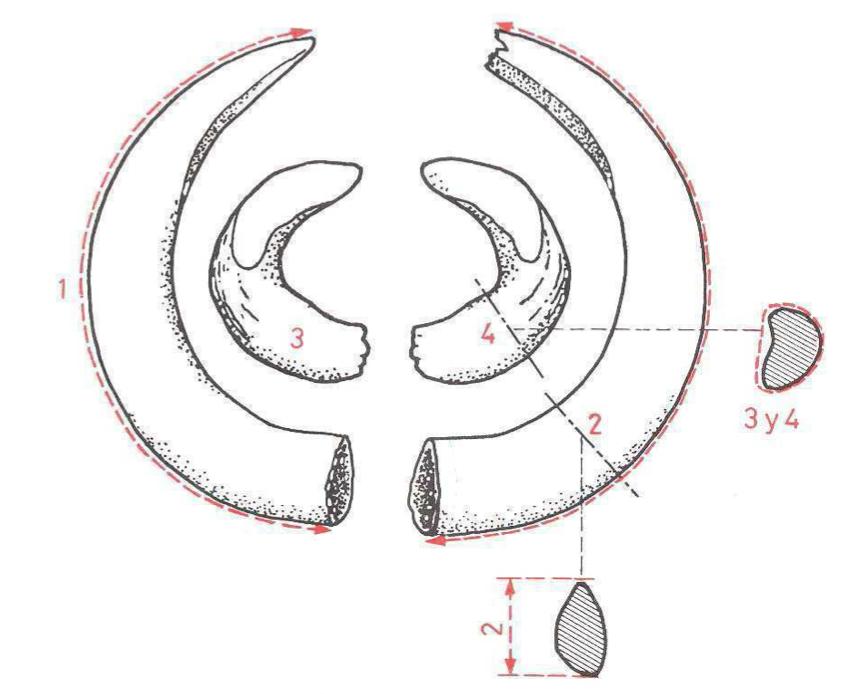 Homologacion de trofeos de jabali, instrucciones medidas, manual homologacion de jabali, homologar jabali