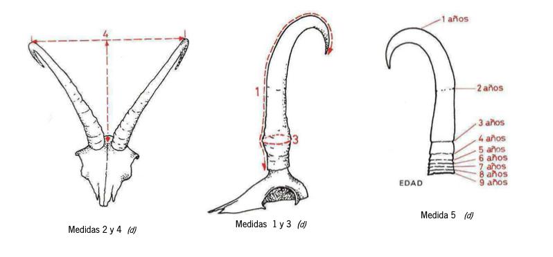 Homologación y medicion trofeo de rebeco o sarrio, homologar trofeo sarrio rebeco, mediciones rebeco sarrio