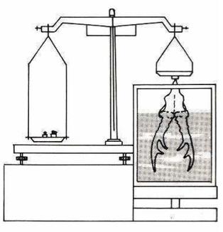 Instrucciones para tomar las medidas del trofeo de corzo, homologacion trofeo de corzo, medicion corzo volumen