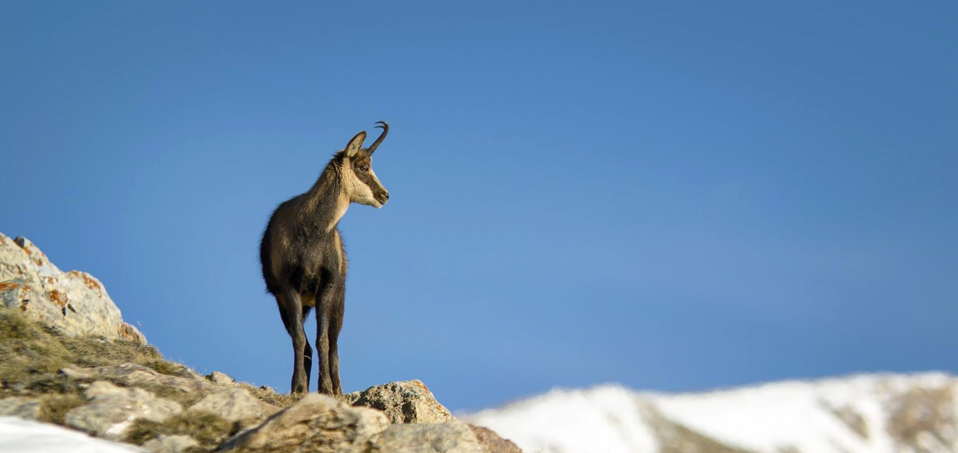 Rececho de sarrio en los Pirineos, cazar sarrio Pirineos