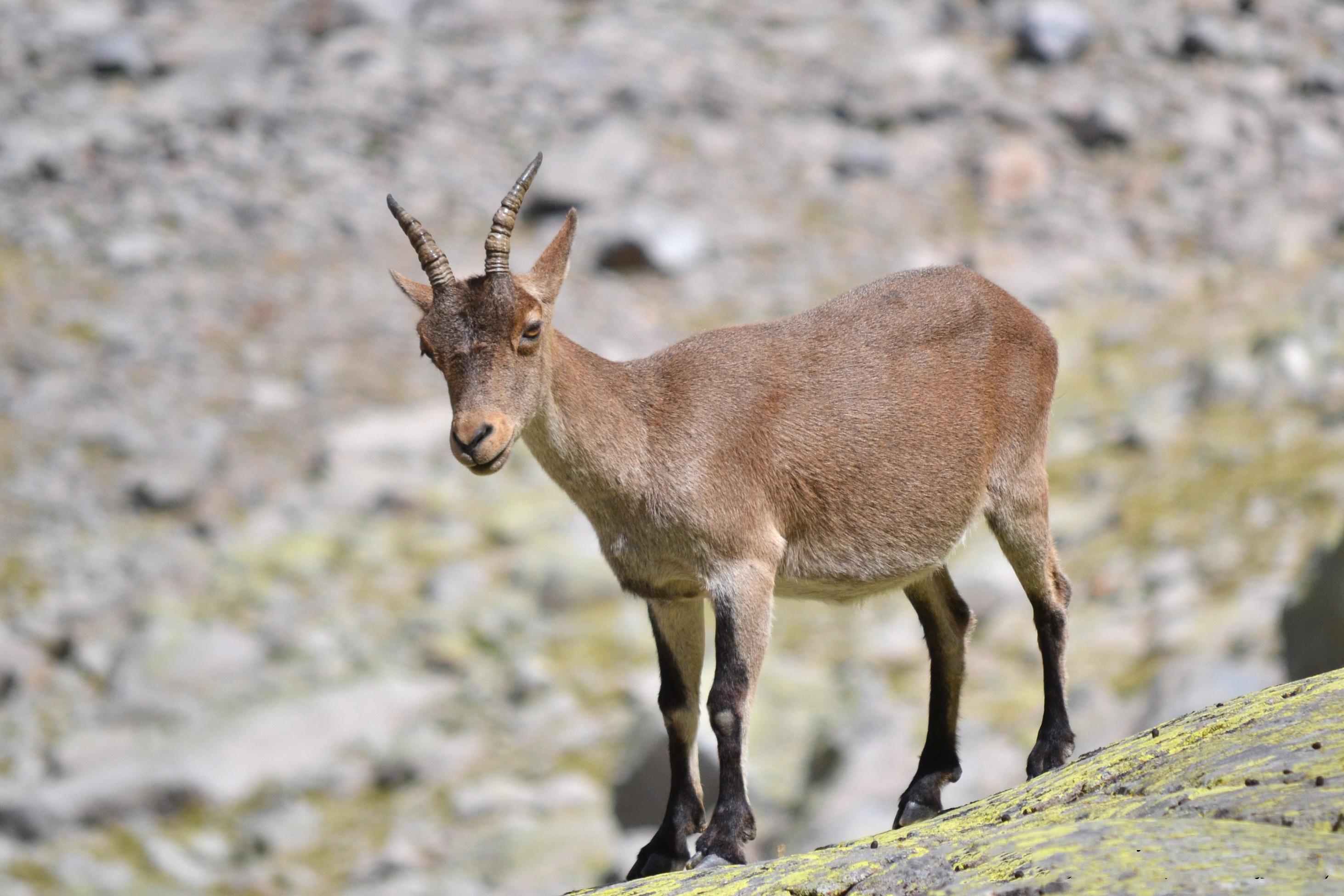 rececho de hembra de cabra montes, cazar cabra montes, recechar cabra montes, cazar hembra macho montes