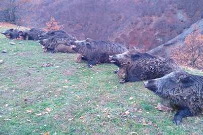 Wild boar driven hunt in Turkey